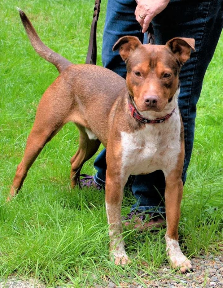 Cody, an adopted Pit Bull Terrier & Australian Cattle Dog / Blue Heeler Mix in Port Townsend, WA