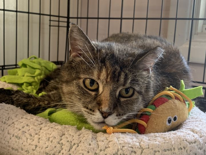 Jackie, an adoptable Tabby in Danbury, CT