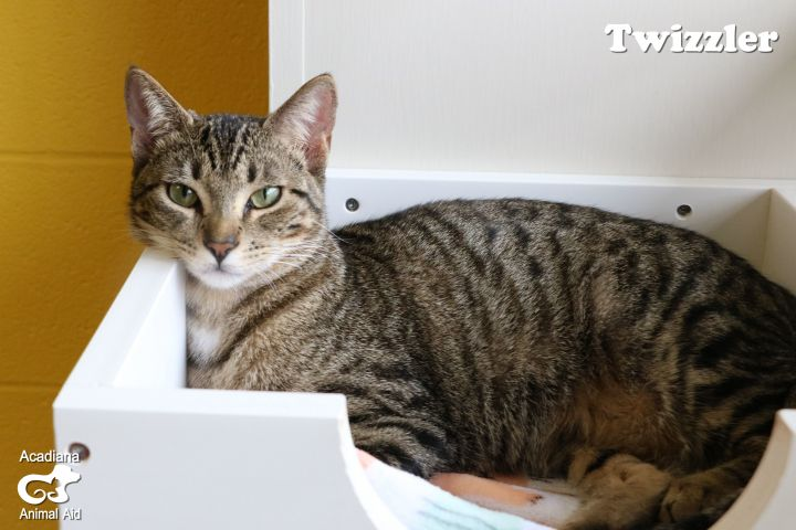 Twizzler, an adoptable Domestic Short Hair in Carencro, LA