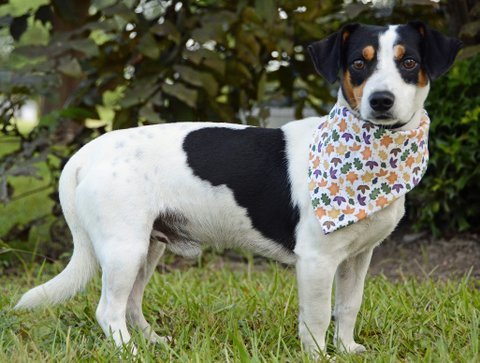 Herman, an adoptable Beagle & Terrier Mix in Carencro, LA