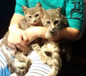 AVA & EVA Domestic Short Hair Cat