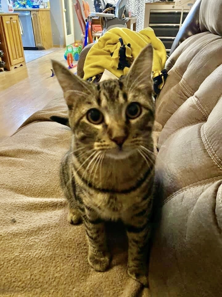 Zuko, an adopted American Shorthair Mix in Springfield, MO