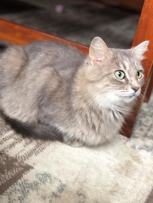 Mama Grace, an adoptable Domestic Medium Hair in Waseca, MN
