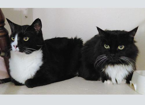 Minnie, an adoptable Tuxedo & Domestic Medium Hair Mix in Springfield, OR