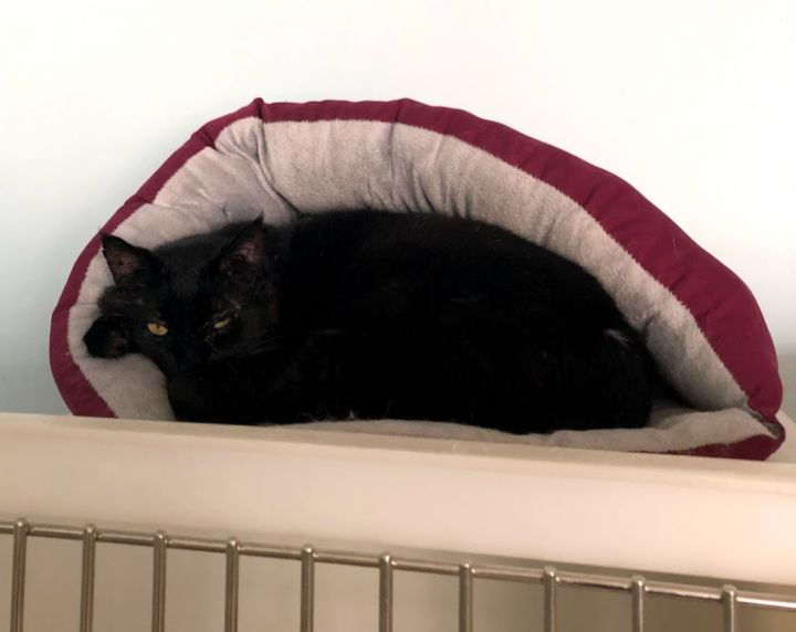Warrior, an adoptable Domestic Short Hair in Danbury, CT