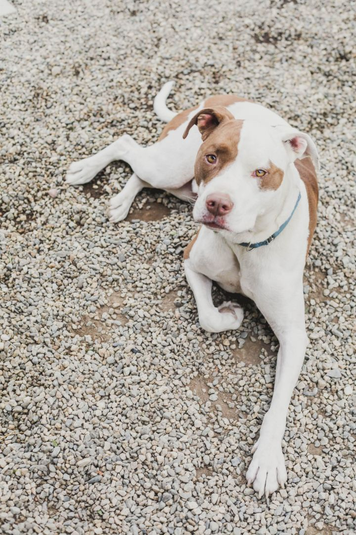 Ouija, an adoptable American Staffordshire Terrier Mix in Pasadena, CA