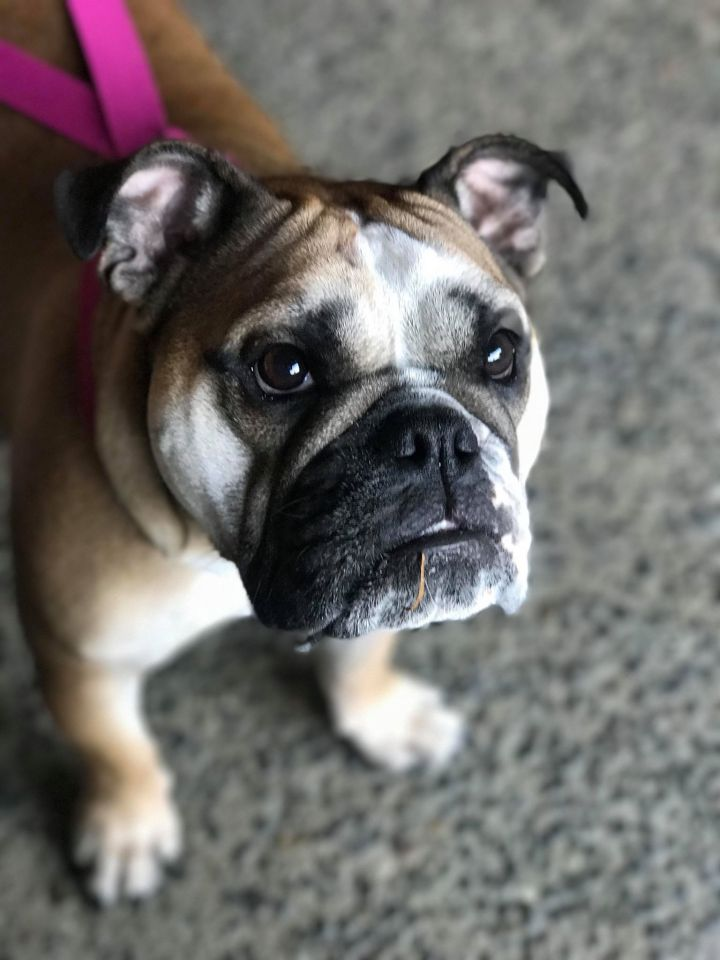 Harper, an adoptable English Bulldog in Silverlake, WA