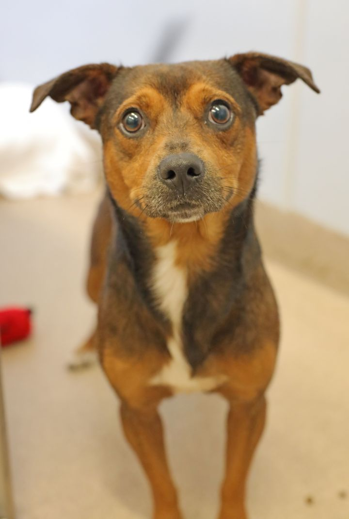 Marco, an adoptable Dachshund Mix in Naperville, IL