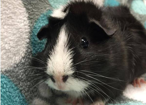Penguin, an adopted Guinea Pig in Saint Paul, MN