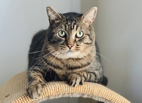 Stranger, an adoptable Tabby & Domestic Short Hair Mix in Springfield, OR