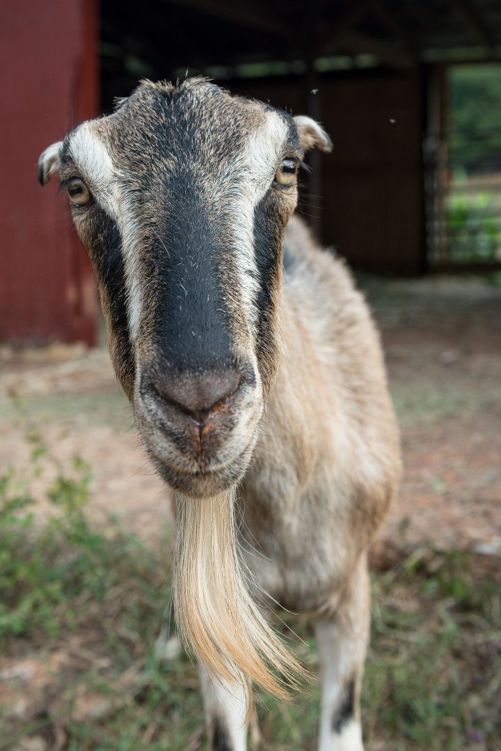 Reba McEntire, an adoptable Goat in Valley Village, CA