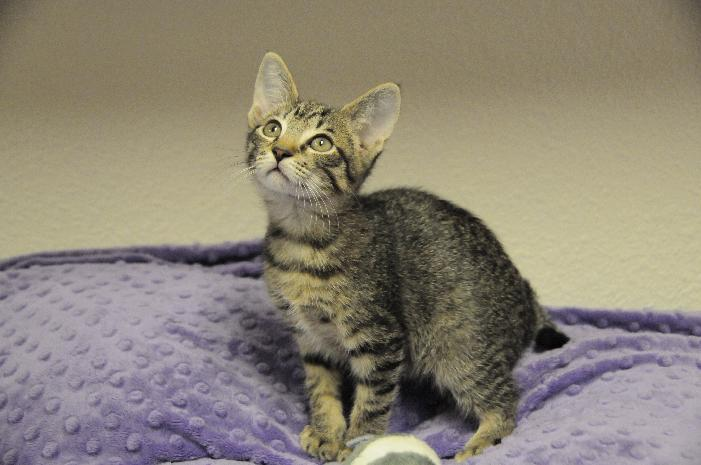 Sequoia, an adoptable Tabby in Jamestown, CA