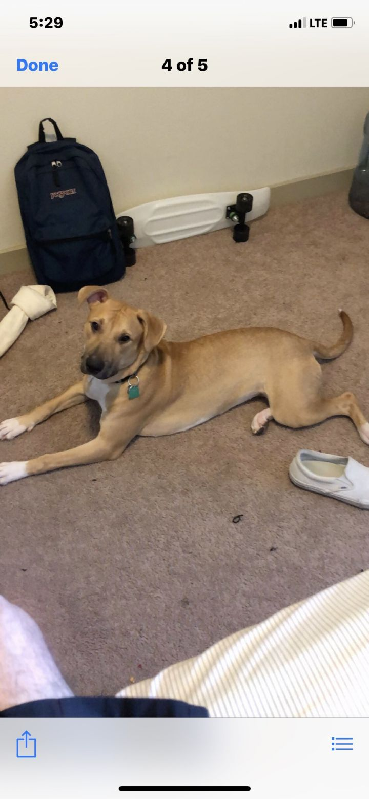 Harley, an adoptable Black Mouth Cur Mix in Dallas, TX
