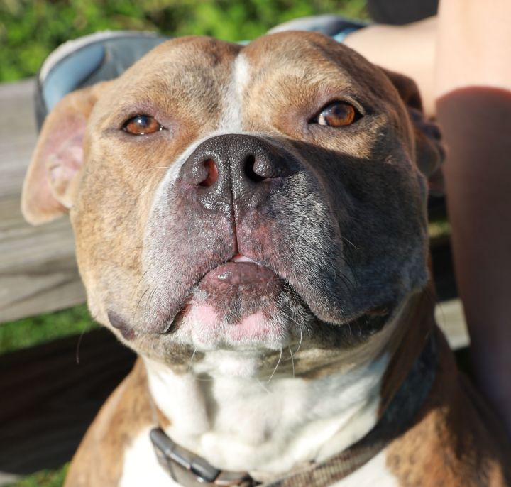 Dozer, an adoptable Pit Bull Terrier Mix in Naperville, IL