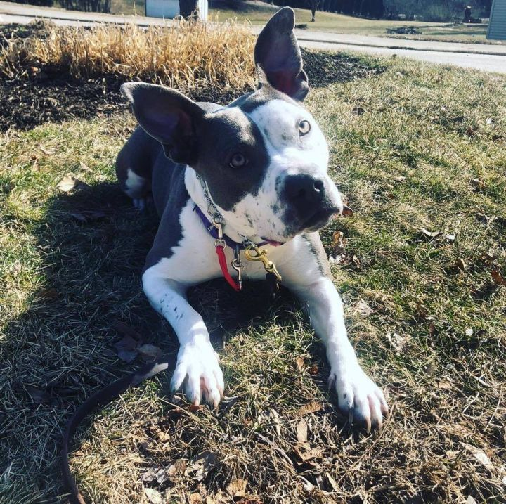 Angela Martin, an adoptable American Staffordshire Terrier & Australian Cattle Dog / Blue Heeler Mix in Plainfield, IL