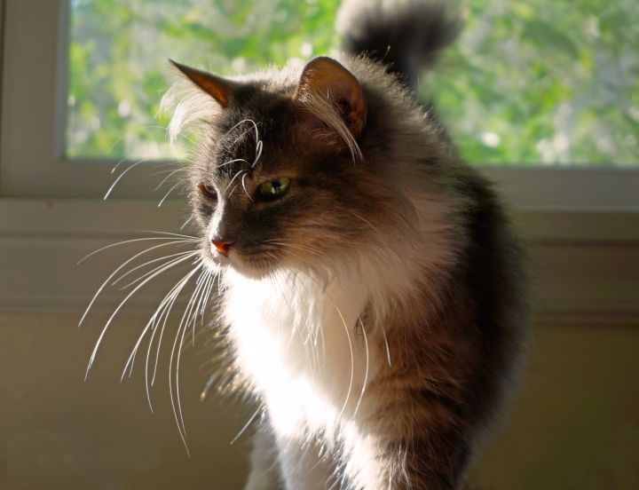 Fluffster, an adoptable Domestic Long Hair Mix in Buhl, ID