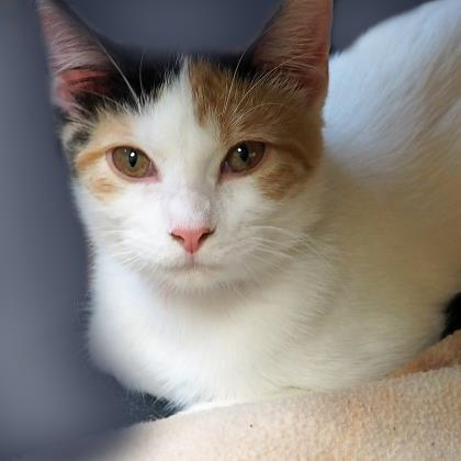 Amber, an adoptable Domestic Short Hair in Verona, WI