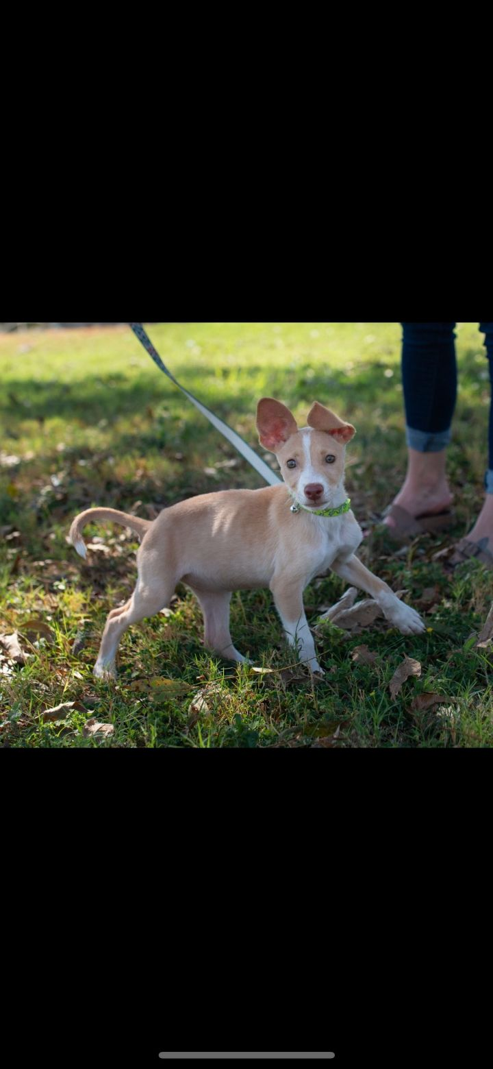 Olive, an adoptable Chihuahua & Corgi Mix in Uvalde, TX
