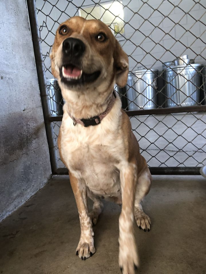 Ginger, an adoptable Cattle Dog Mix in Uvalde, TX