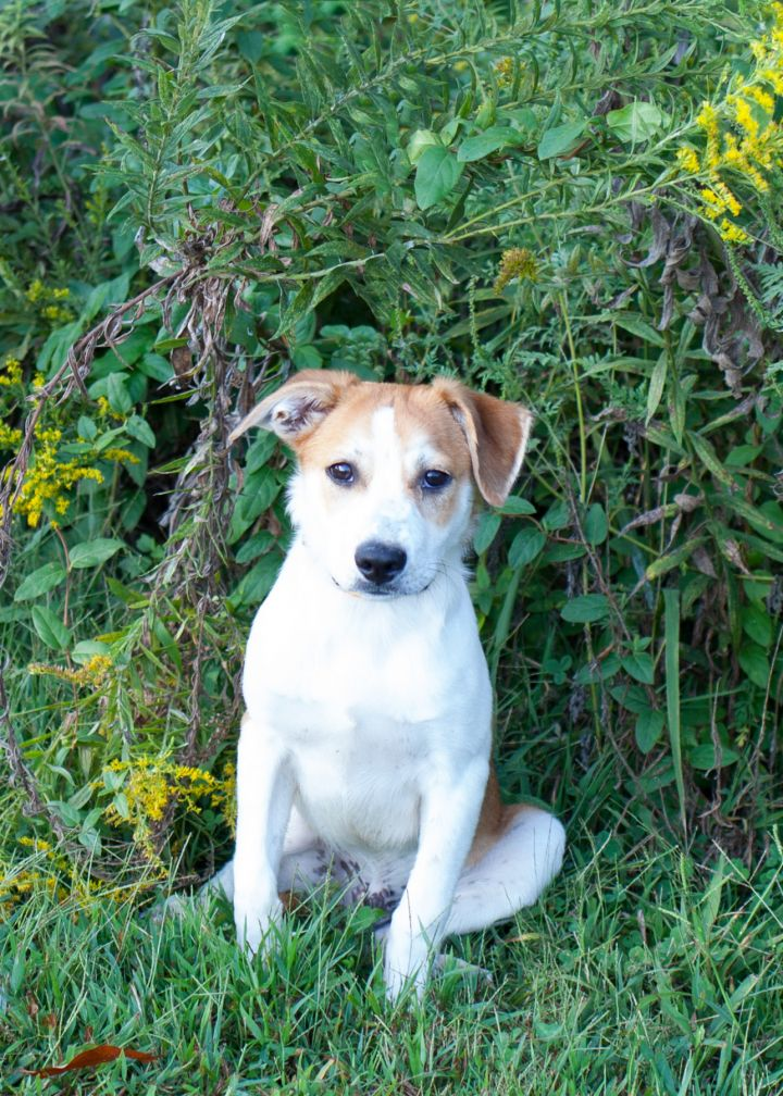Flapjack, an adopted Beagle Mix in Cape Girardeau, MO