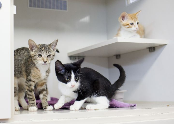 Hunter, Harvest, & Sawyer, an adoptable Domestic Short Hair Mix in Cape Girardeau, MO