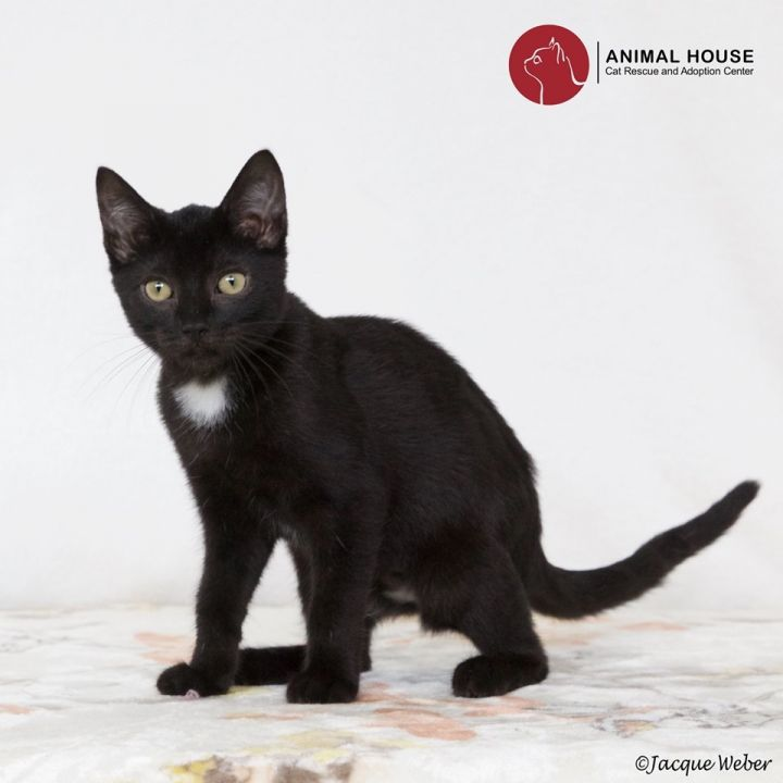 Janine, an adoptable Domestic Short Hair in St. Louis, MO
