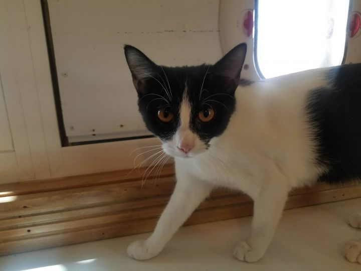 Thimble, an adoptable Domestic Short Hair in Ridgway, CO