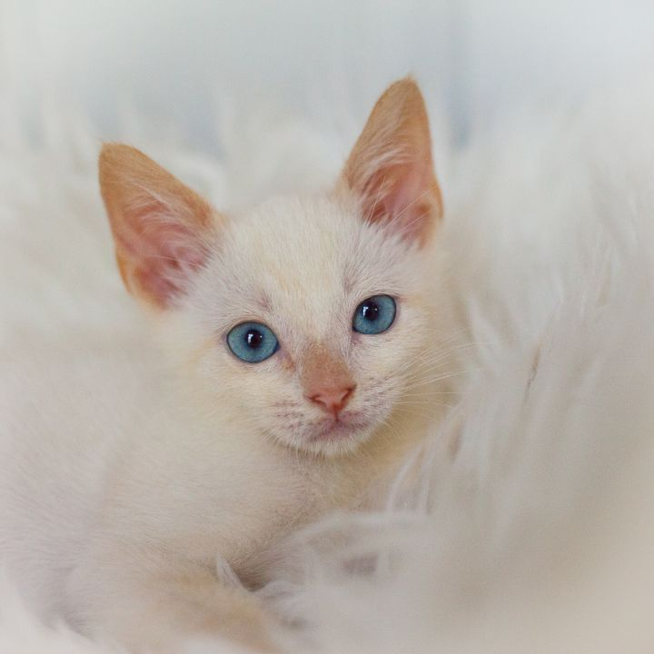 Rowan, an adopted Siamese Mix in Ponte Vedra, FL