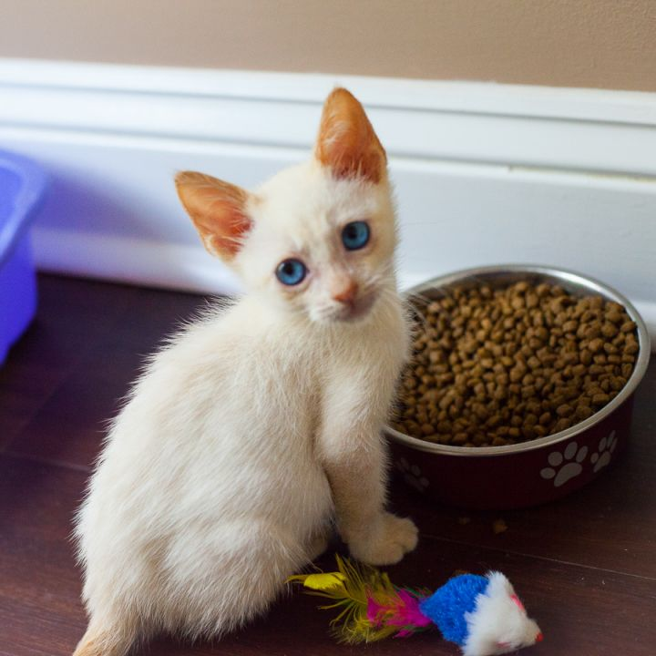 Roisin, an adopted Siamese Mix in Ponte Vedra, FL