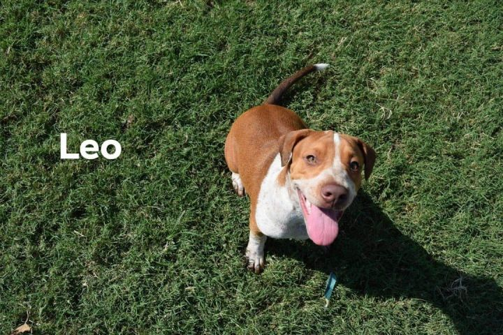 Leo, an adoptable Shar-Pei & Cattle Dog Mix in Darien, CT