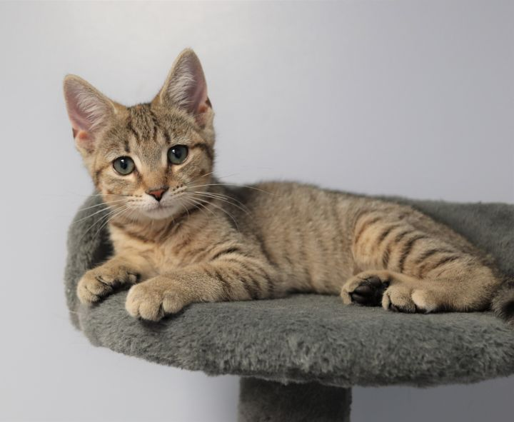 Princess Leia, an adopted Domestic Short Hair in Boiling Springs, PA