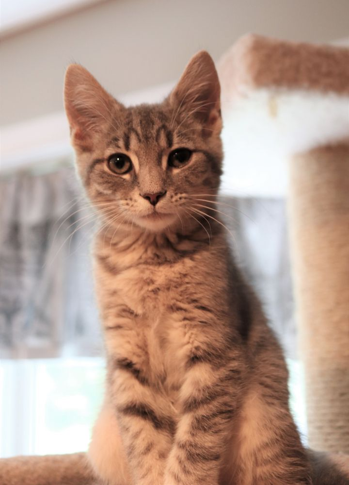 Han Solo, an adoptable Domestic Short Hair in Boiling Springs, PA
