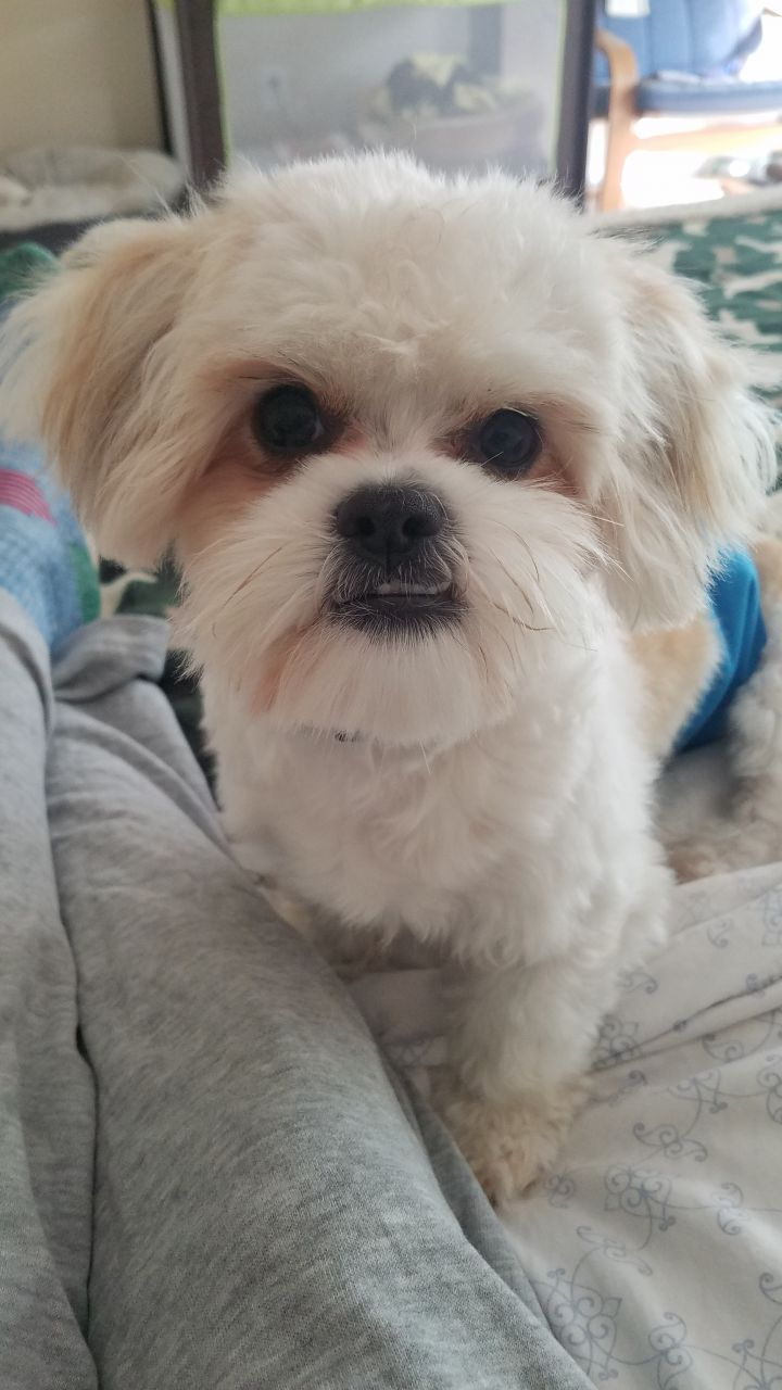 Kane Turner, an adopted Shih Tzu Mix in Canton, MI