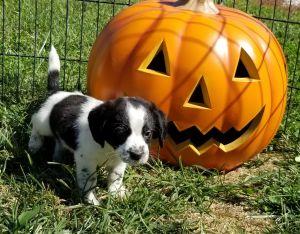 Beagle terrier puppies
