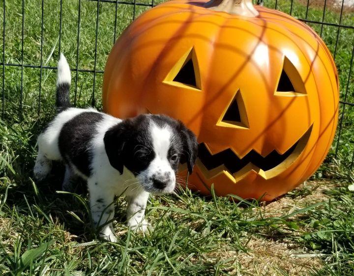 Beagle terrier puppies 1