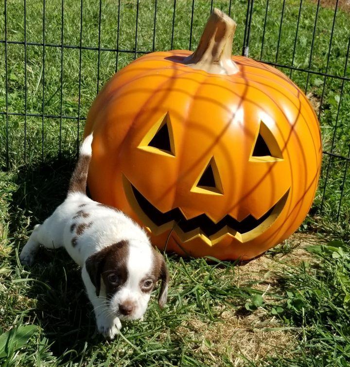 Beagle terrier puppies 2