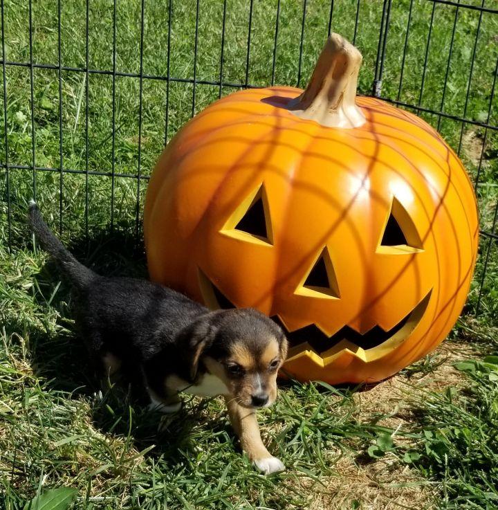 Beagle terrier puppies 3