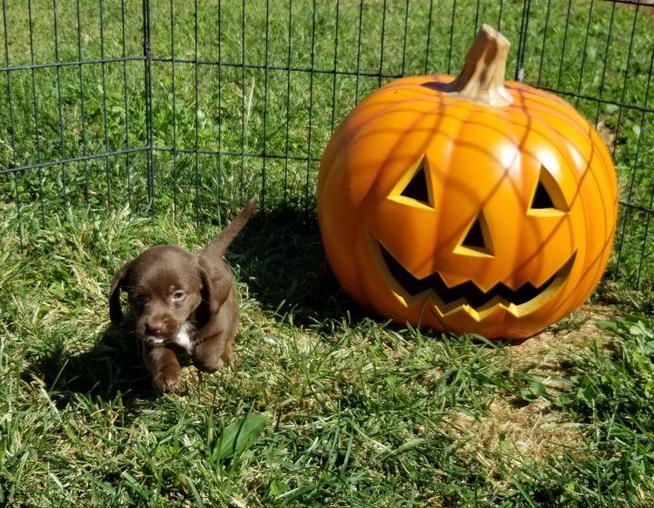 Beagle terrier puppies 4