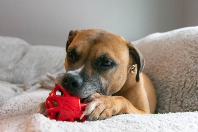 Max, an adoptable Boxer Mix in Silverdale, WA