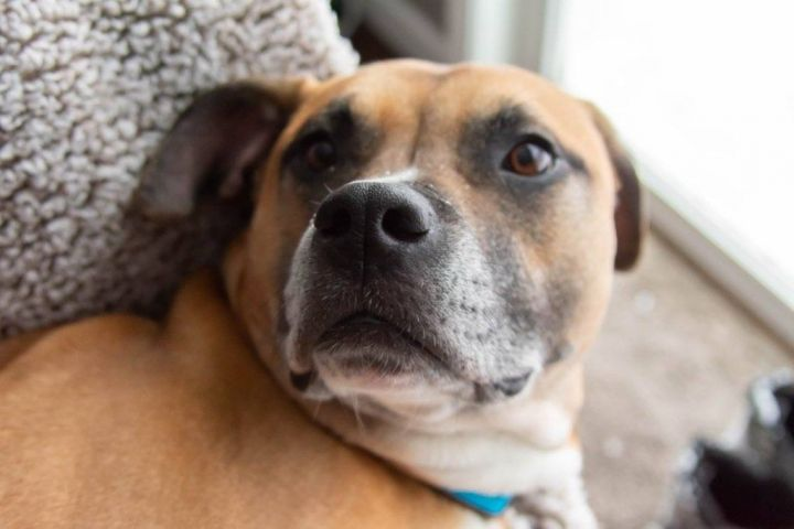 Max, an adopted Boxer Mix in Silverdale, WA