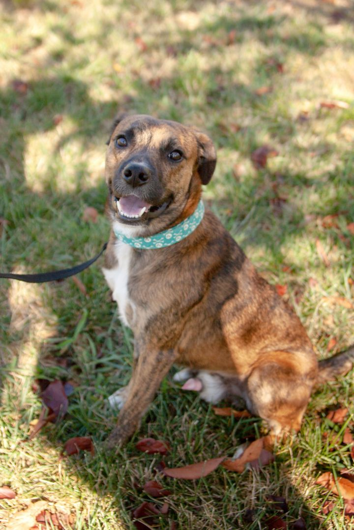 Sam, an adoptable Hound Mix in Waxhaw, NC