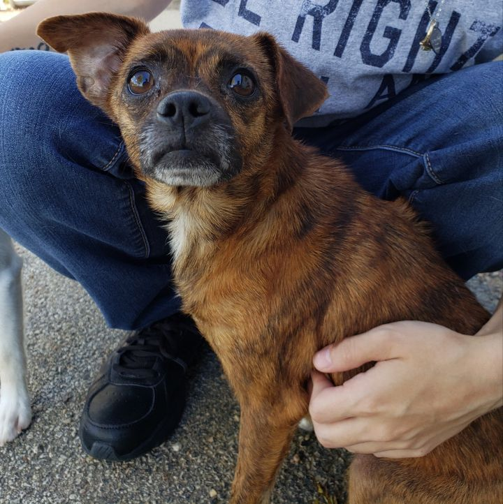 Camilla, an adoptable Chihuahua Mix in Bloomington, IL