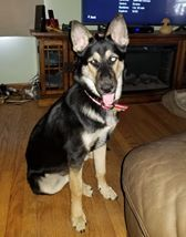 Rosie Posie, an adopted Shepherd Mix in Racine, WI