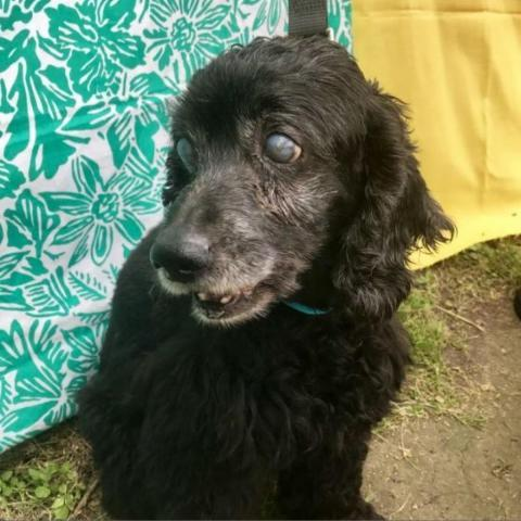 Journey, an adoptable Cockapoo in Cypress, TX
