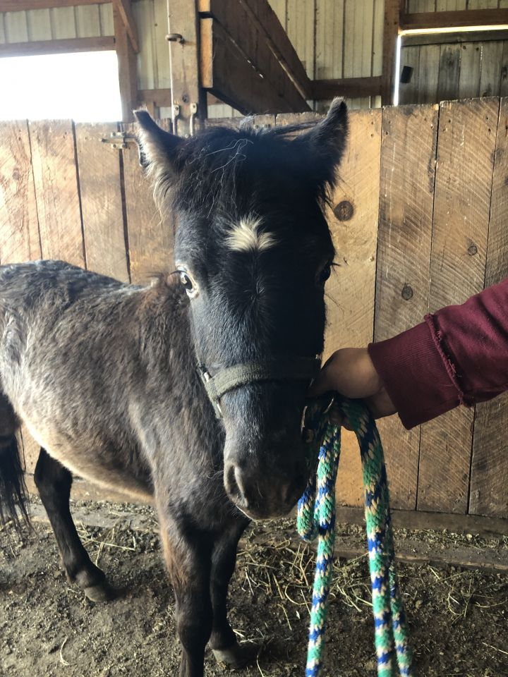 Binx, an adoptable Miniature Horse in Colfax, WI