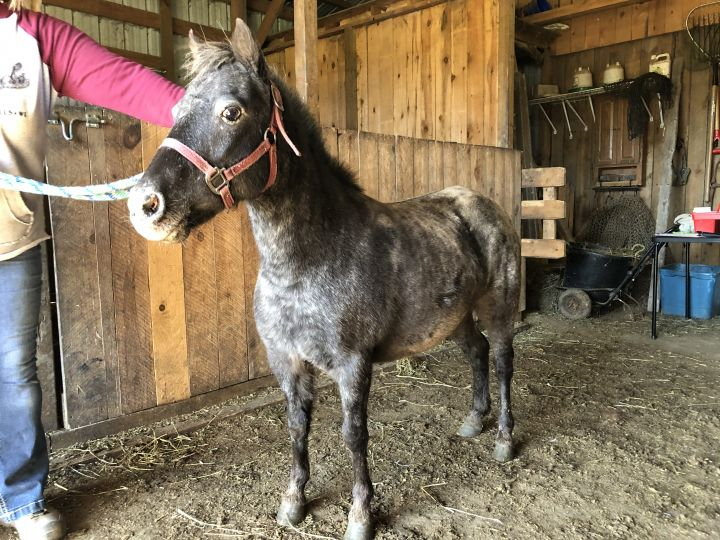 Annabelle, an adopted Miniature Horse in Colfax, WI