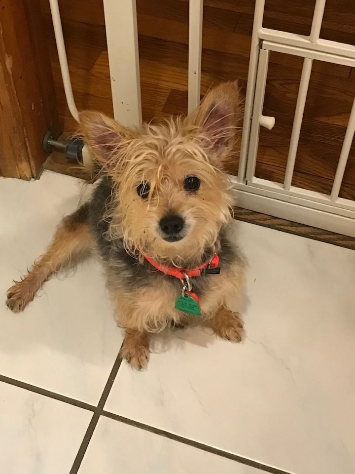 Fefe, an adopted Yorkshire Terrier in Natick, MA