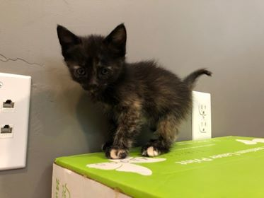 Annie, an adoptable Domestic Short Hair & Tortoiseshell Mix in Vernal, UT