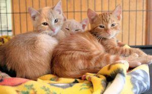 3 orange male kittens