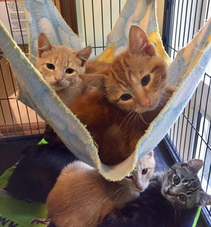3 orange male kittens 2